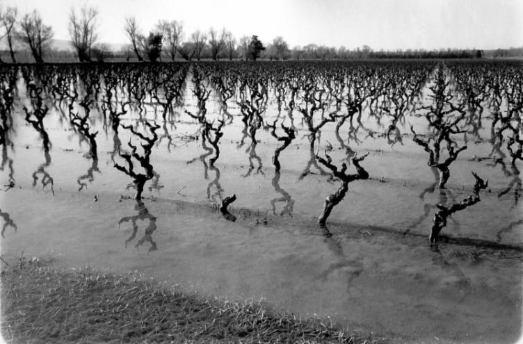 Flooded vineyard, Marseillette, France, 2004
